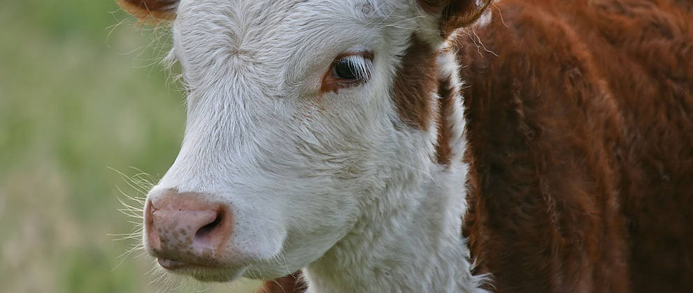 Resolving Cattle Diet