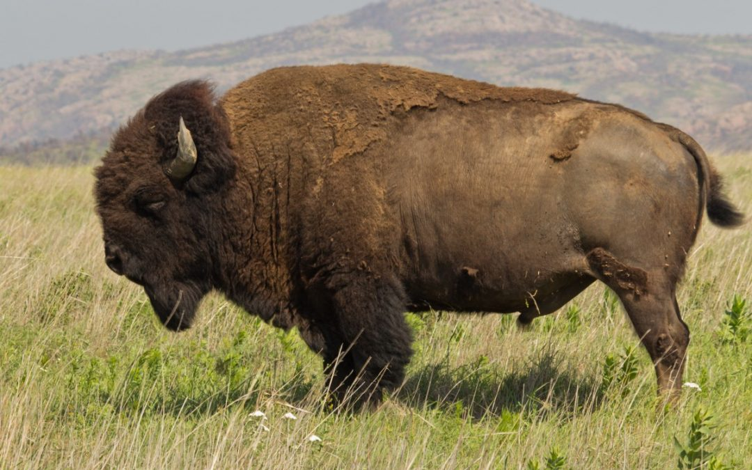 Quantifying bison diet: comparisons with isotopes