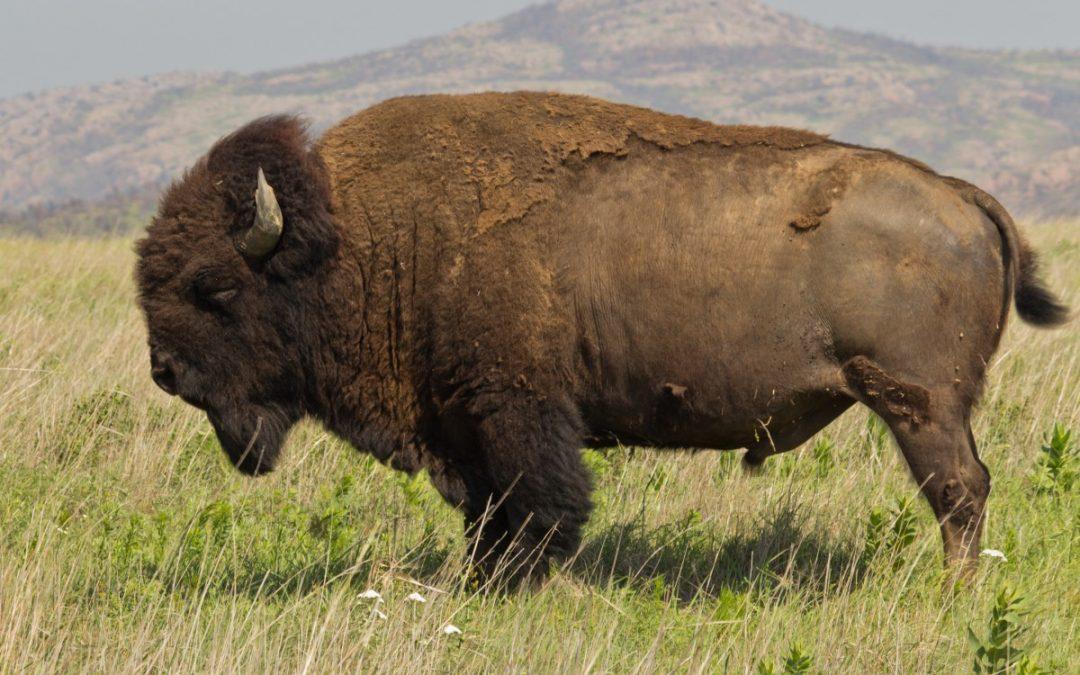 Comparing bison diet between South Dakota and Kansas