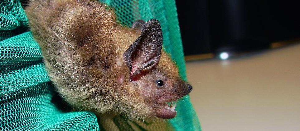 Bat diet sequenced