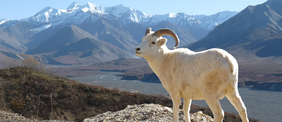 Dall's sheep diet sequenced