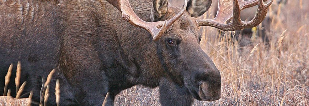 Sequencing northeast US moose diet