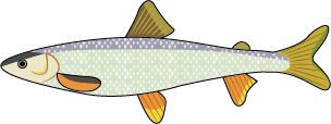 RoundWhitefish